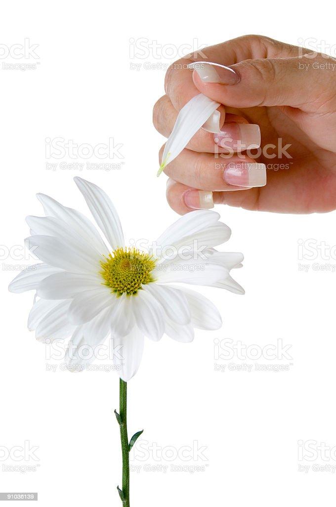 Hand picking daisy petals. royalty-free stock photo