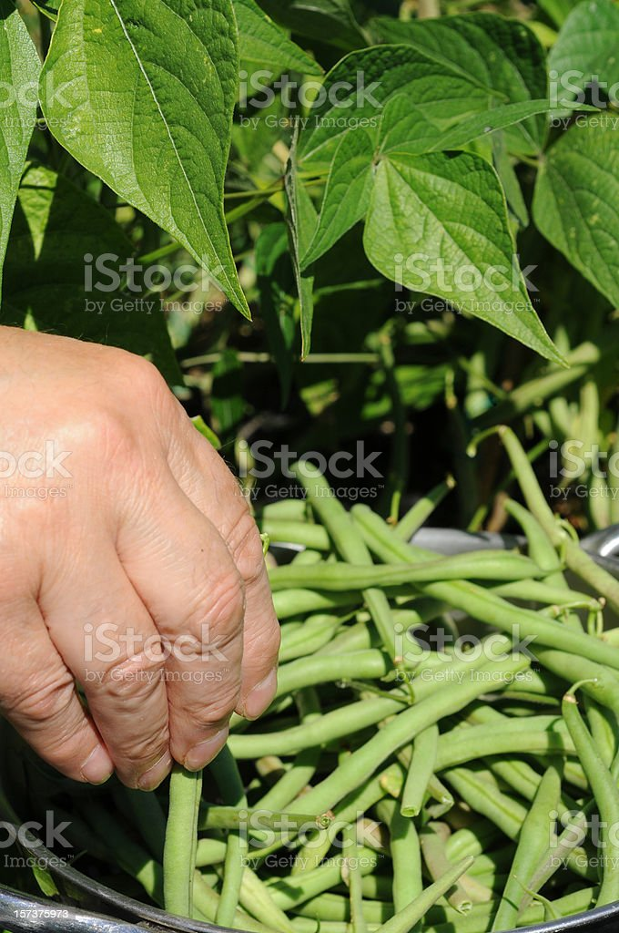 hand picking dwarf French beans stock photo