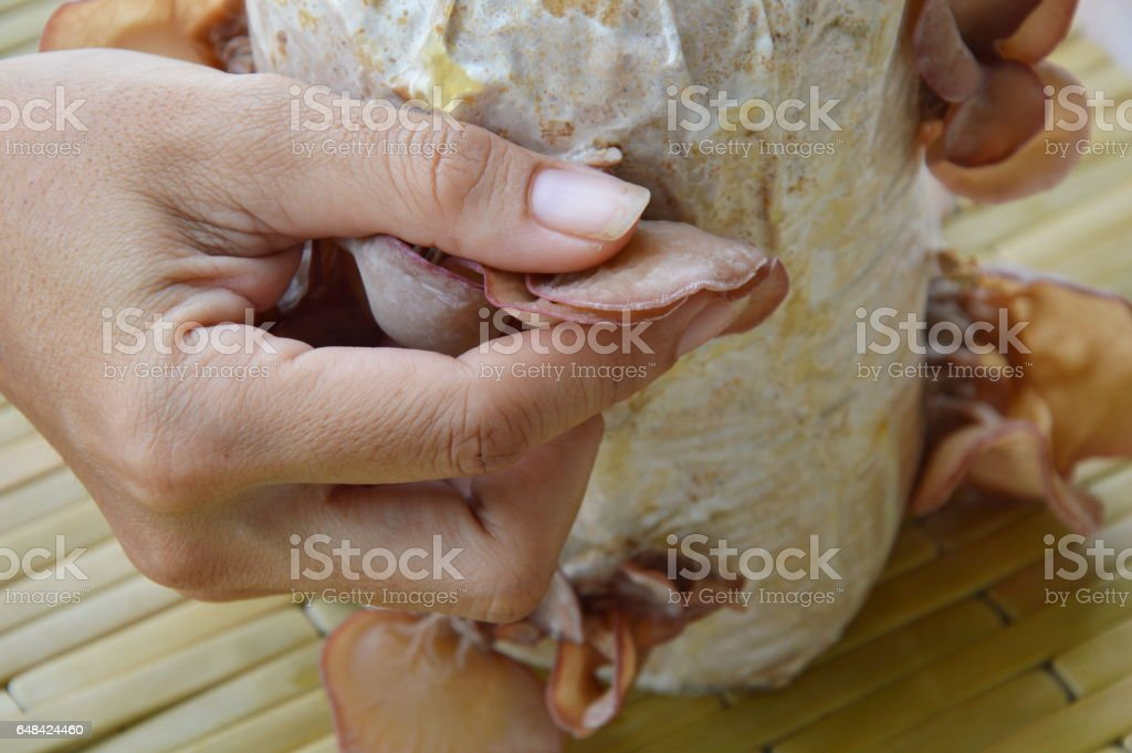 hand picking ear mushroom from Infected loaf for harvesting stock photo