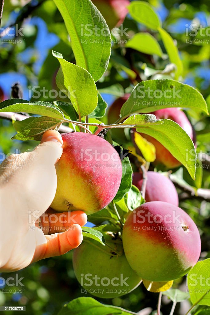 Hand Picking Ripe Fruit From Apple Tree stock photo