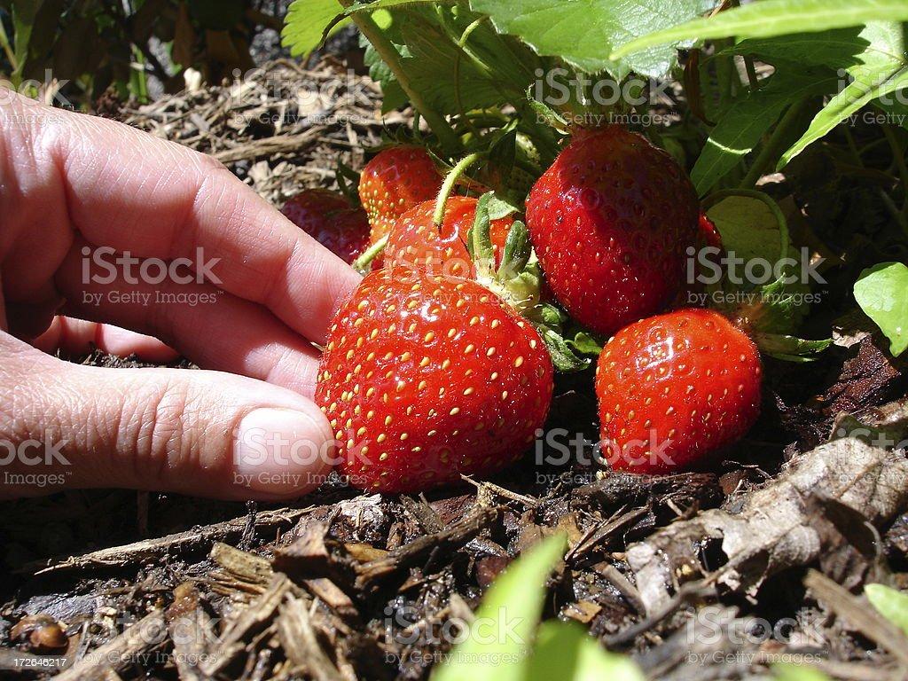 Hand Picking Strawberries royalty-free stock photo