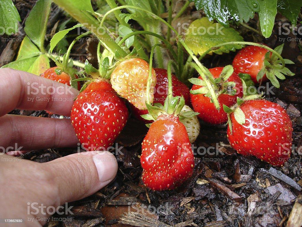 Hand Picking Strawberries stock photo