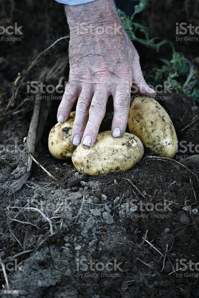 Hand picking up potatoes. stock photo