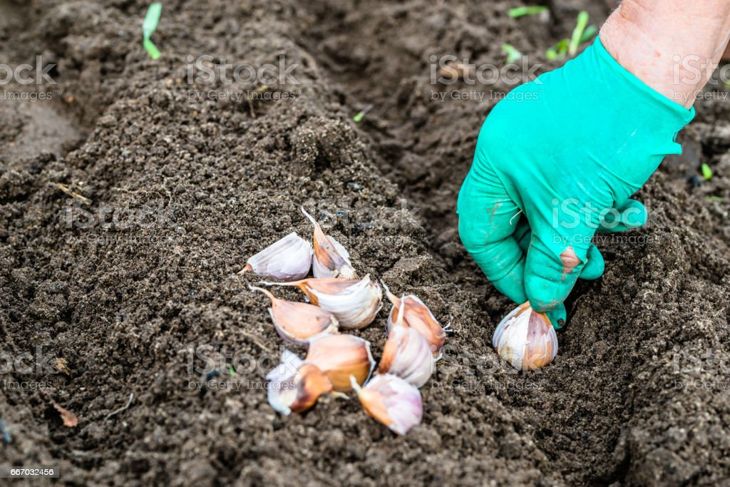 Можно ли сажать семена чеснока