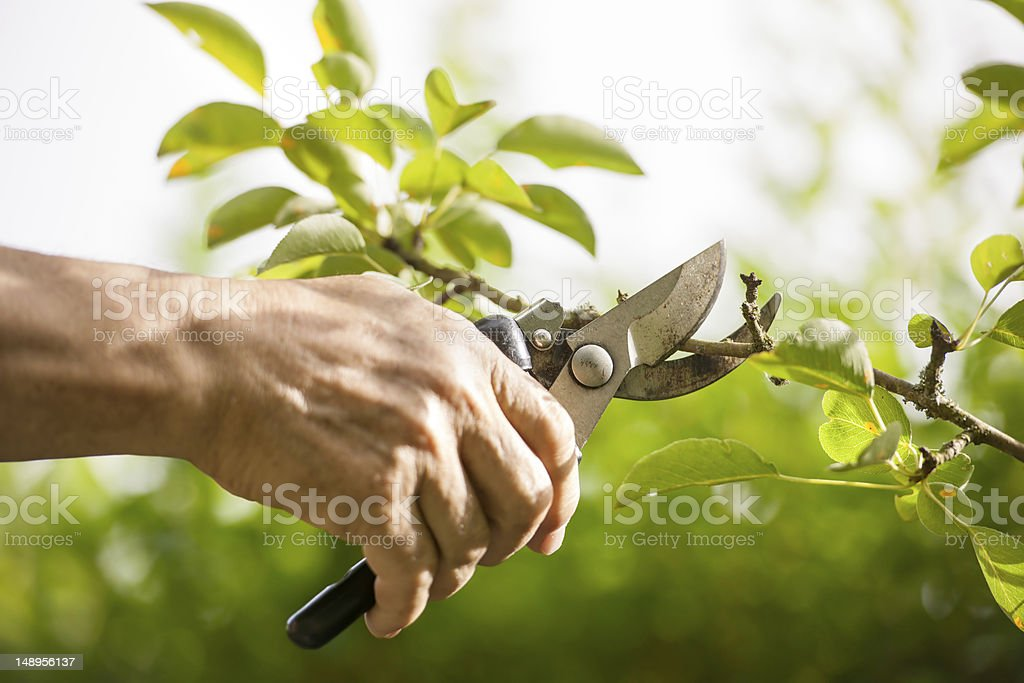 Hand pruning tree with pair of secateurs stock photo