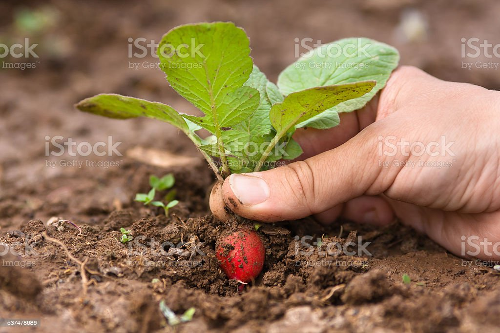 hand pulling radishes in vegetable garden stock photo