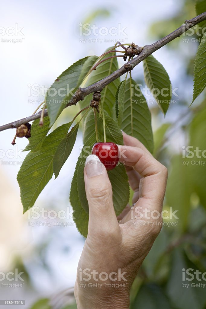Hand reaching up to pick a cherry off the tree stock photo