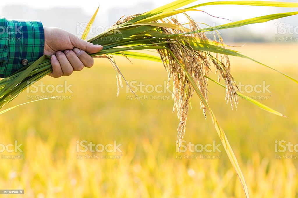 Hand select rice stock photo