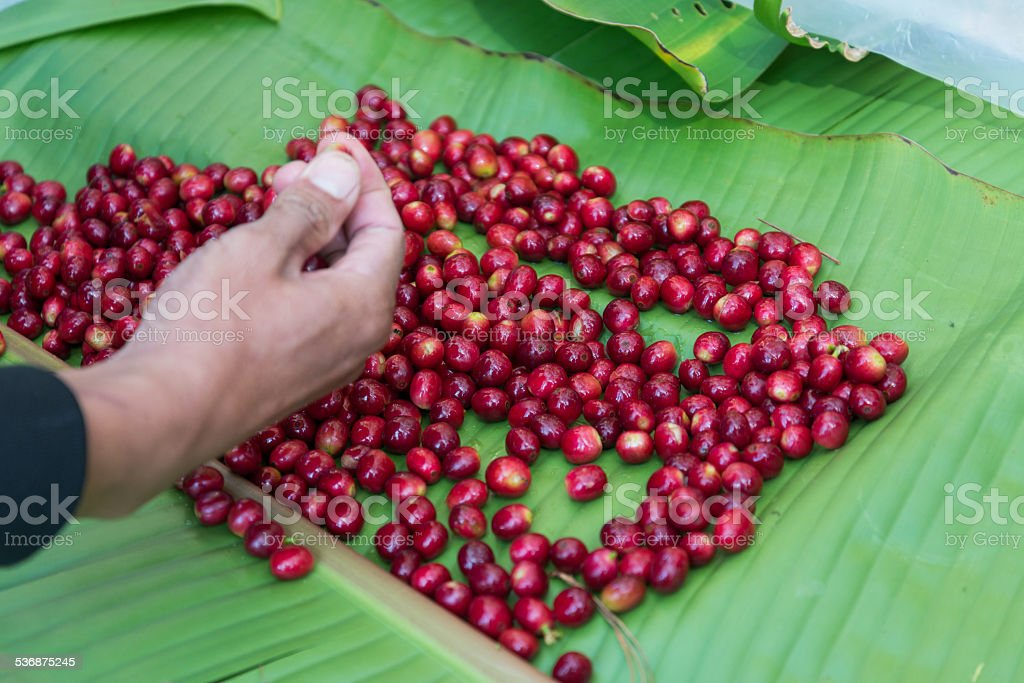 hand selecting coffee bean stock photo