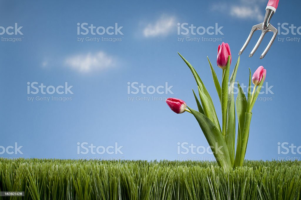 Hand Shovel And Pink Tullips royalty-free stock photo