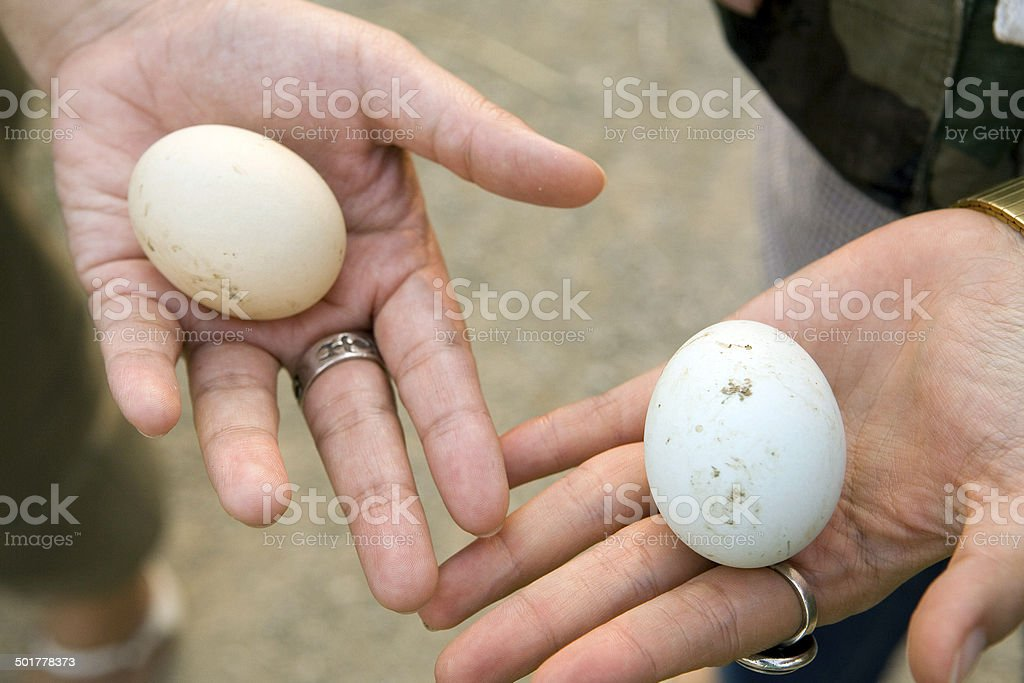 Hand showing duck eggs royalty-free stock photo