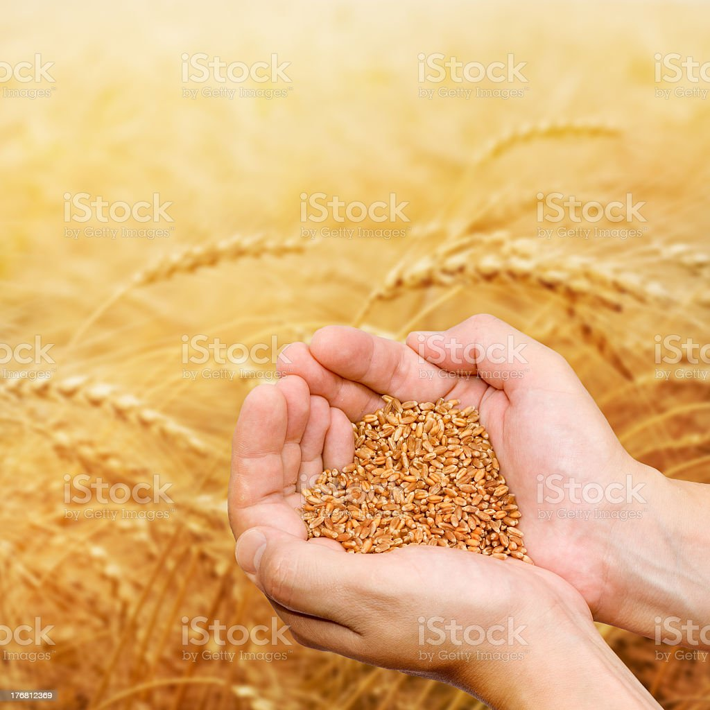 A hand showing grain on a wheat field  stock photo