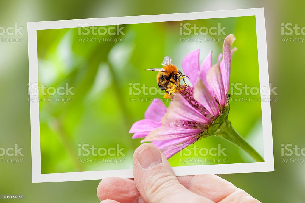 hand shows a shot of bee collecting honey stock photo