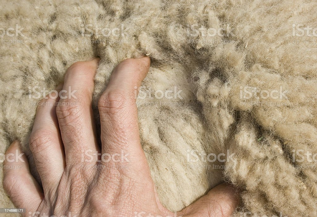 Hand spreading Wool on sheeps back stock photo
