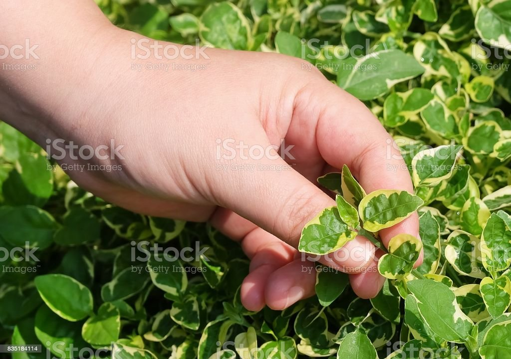 Hand Taking Care of Green Plant in Garden stock photo
