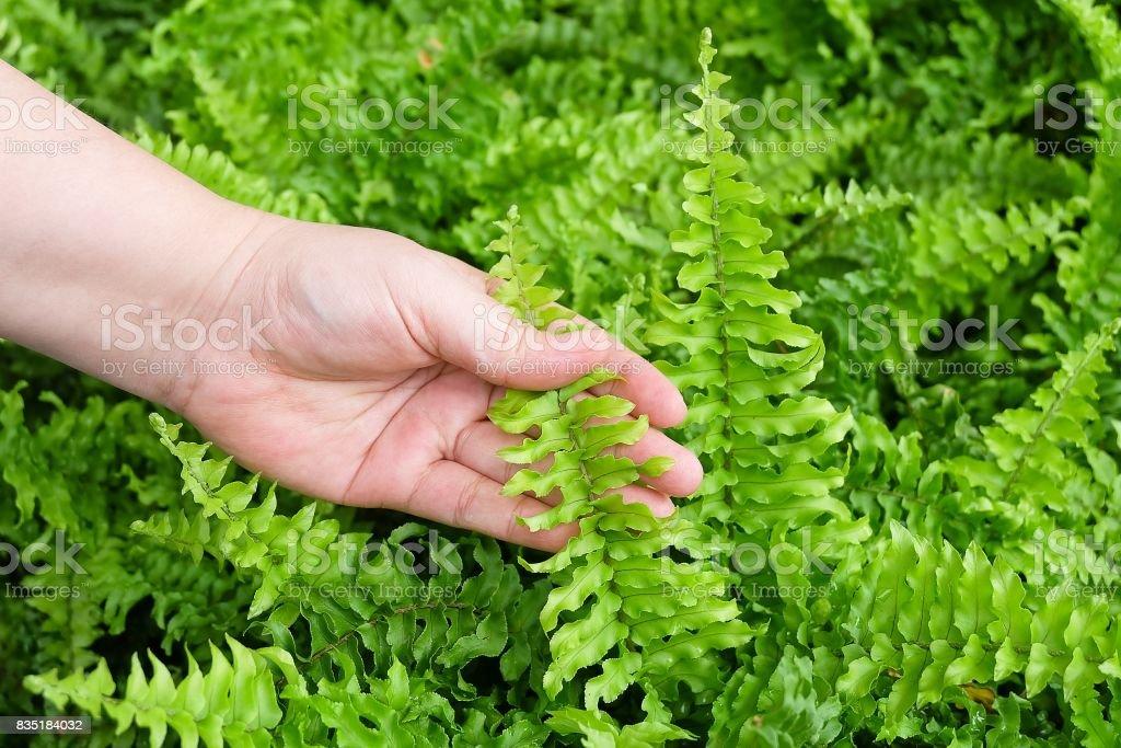 Hand Taking Care of Tassle Ferns in Garden stock photo