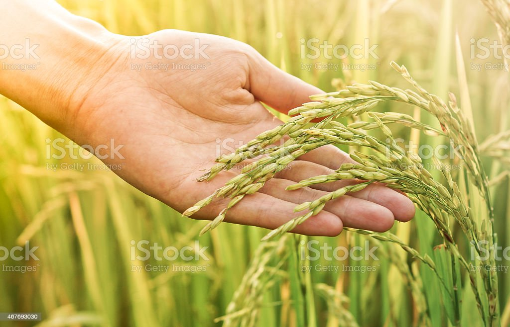 Hand touching rice plant in field stock photo