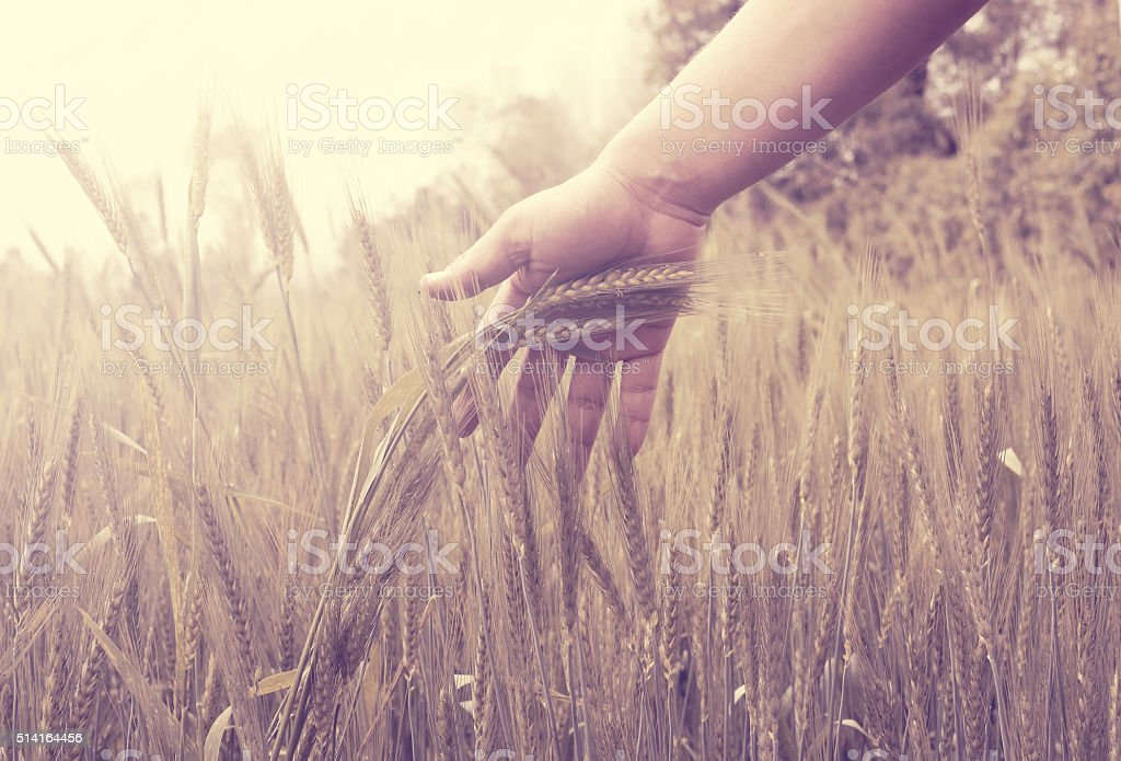 Hand touching wheat crop in field stock photo