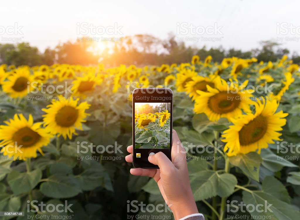 hand using phone taking photo beauty sunflower field stock photo