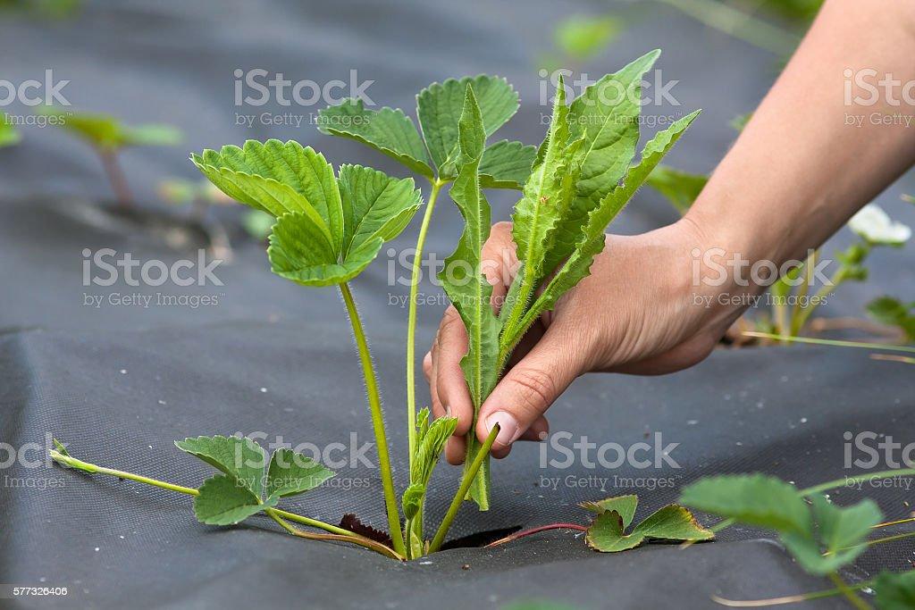 hand weeding of strawberries stock photo