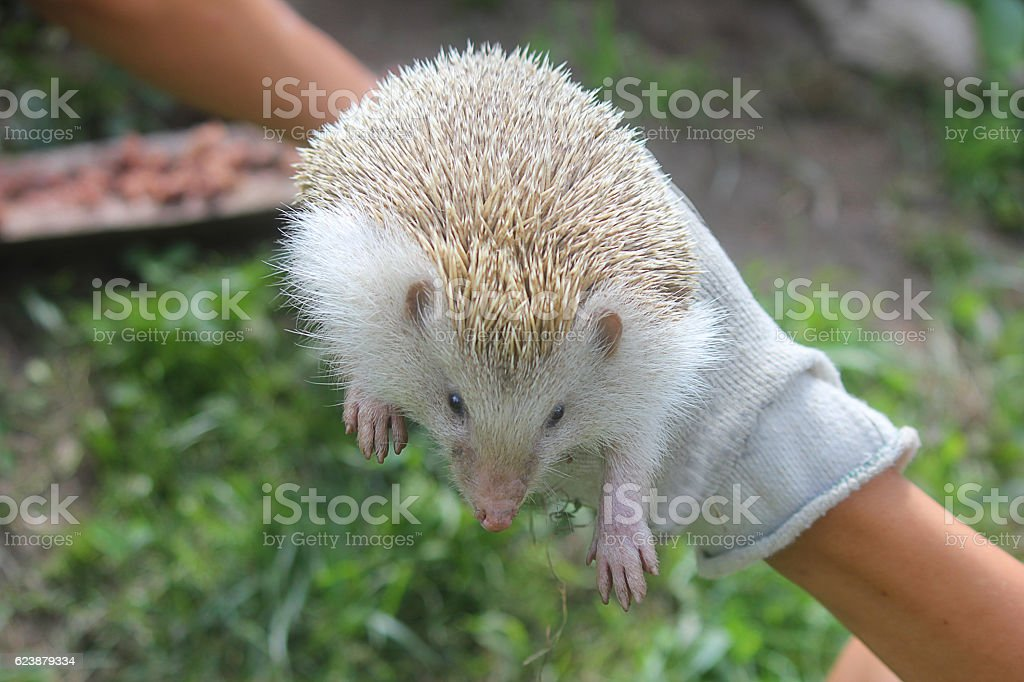 hand with an hedgehog stock photo