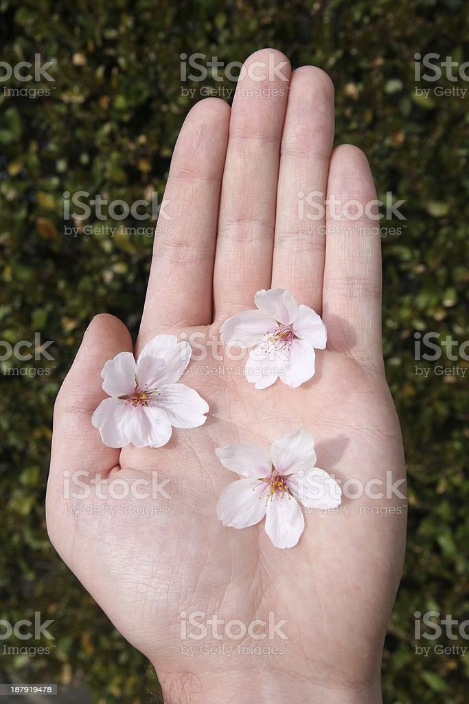 Hand with cherry flowers royalty-free stock photo