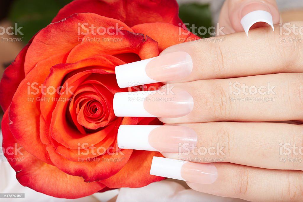 Hand with french manicured nails and red rose flower stock photo