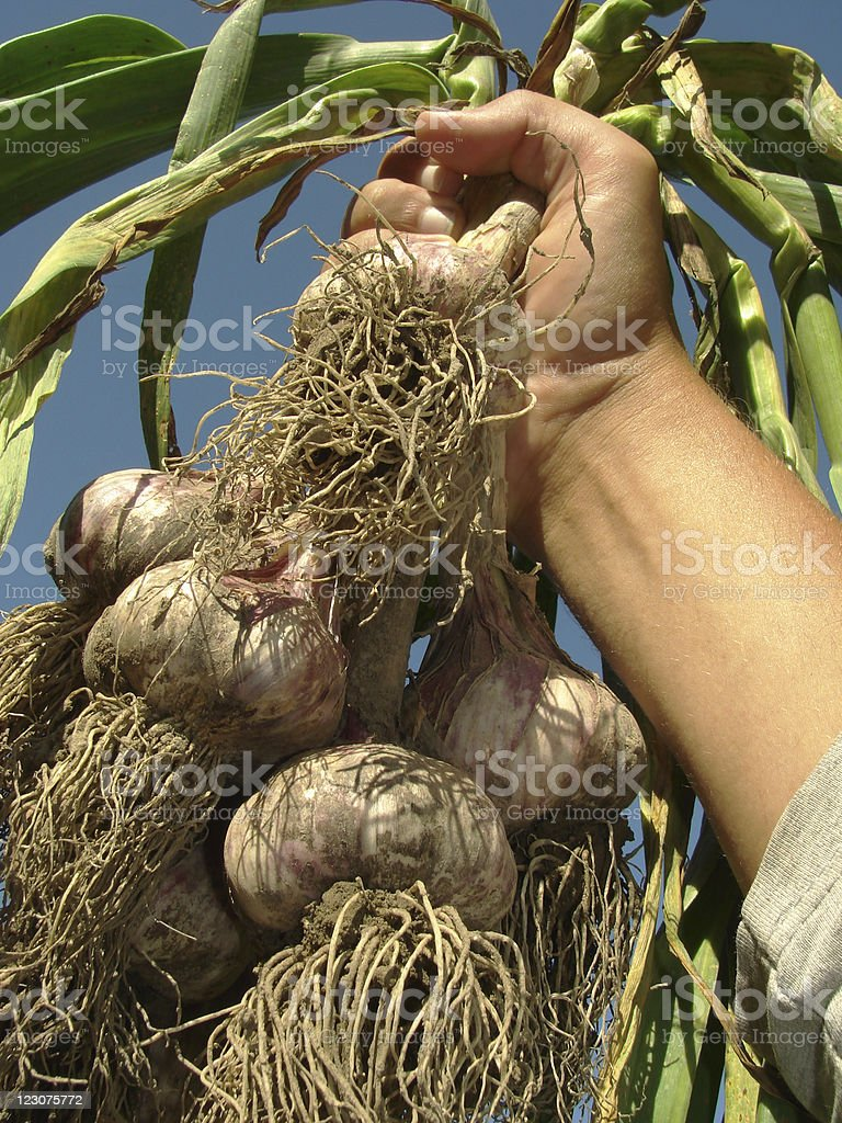 hand with garlic royalty-free stock photo