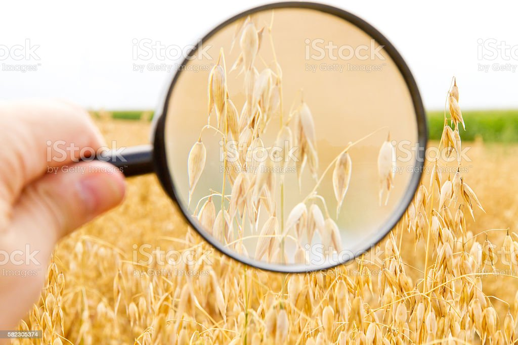 Hand with magnifier in a oat field stock photo