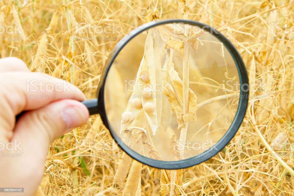 Hand with magnifier in a soya field stock photo