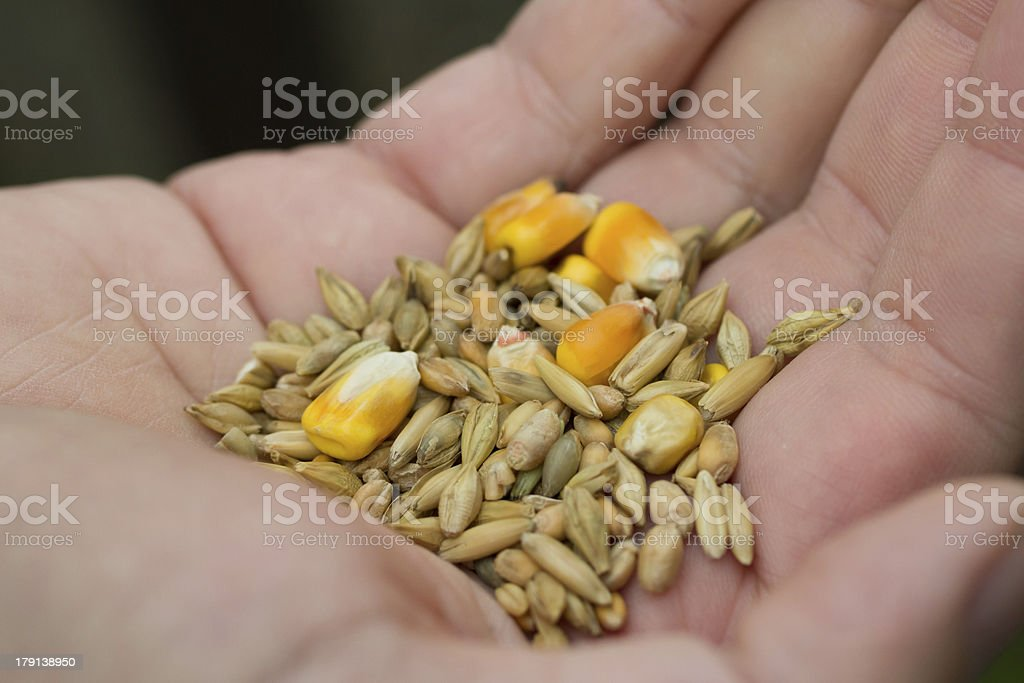 Hand with poultreefeed stock photo