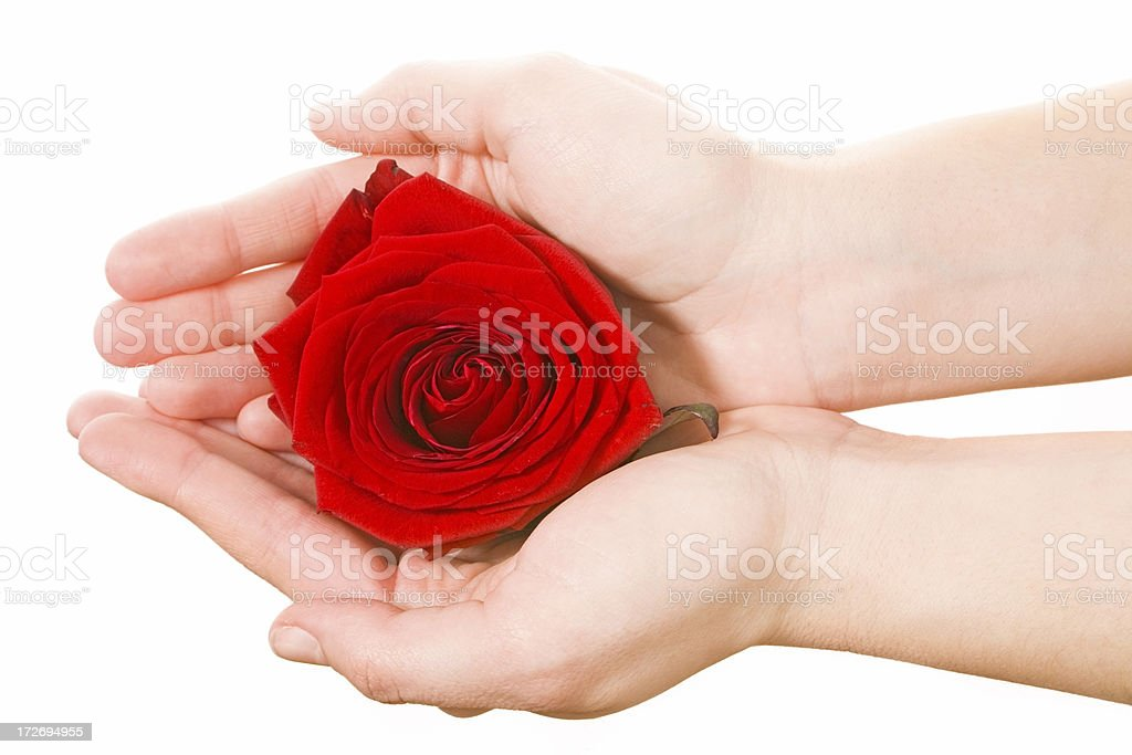 hand with red rose on white royalty-free stock photo