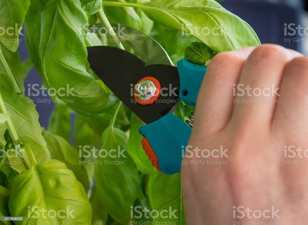 hand with secateurs stock photo