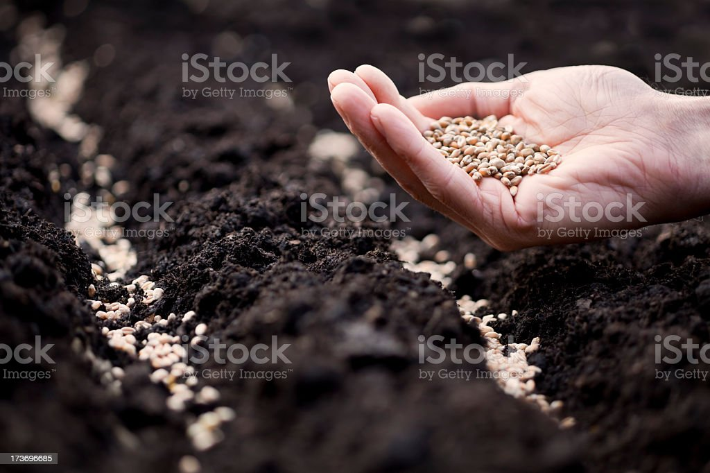 Hand with wheat seeds preparing to sow in soil royalty-free stock photo
