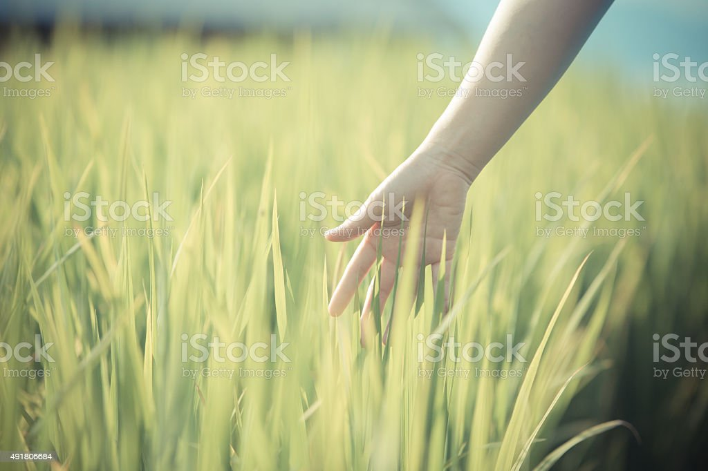 Hand woman touch in wheat field. stock photo