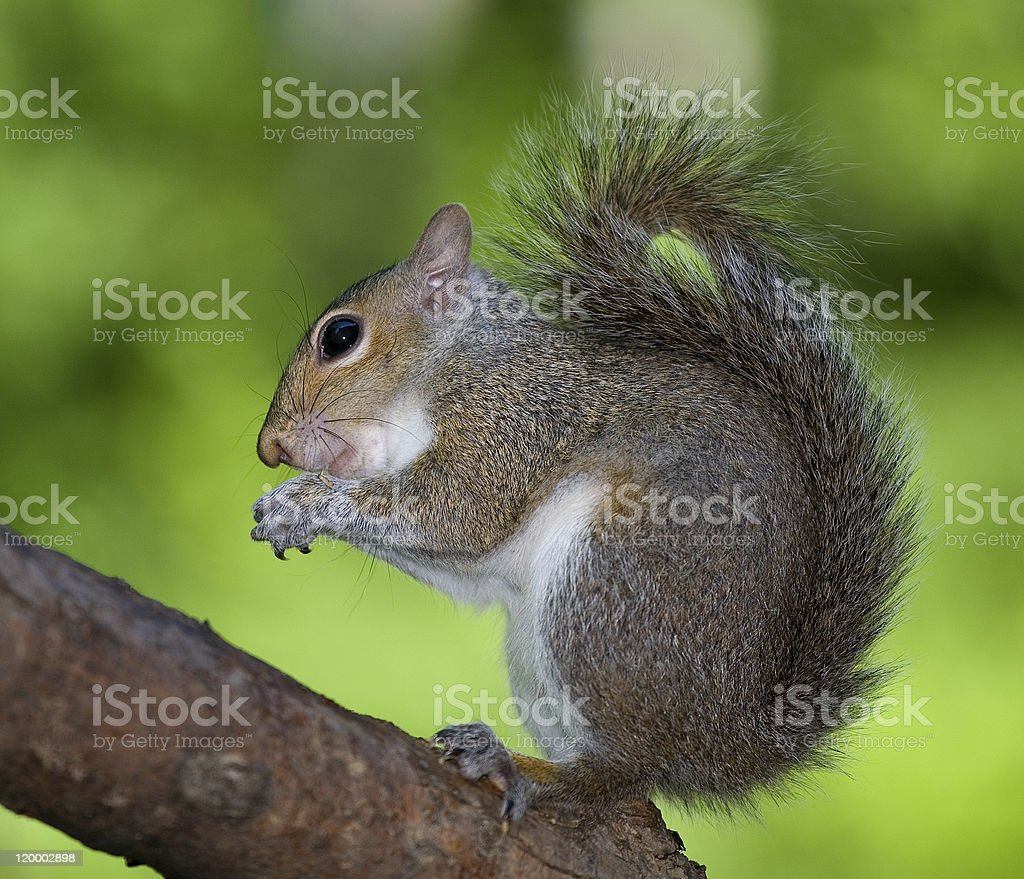 Hand wringing squirrel stock photo