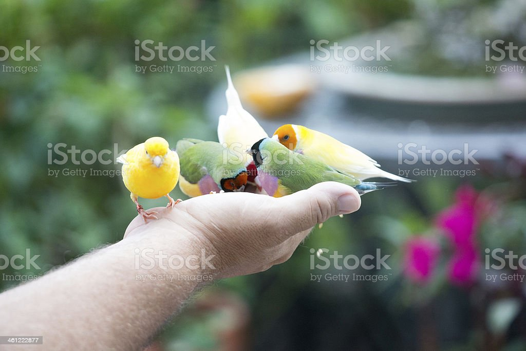 Handfeeding finches and canaries royalty-free stock photo