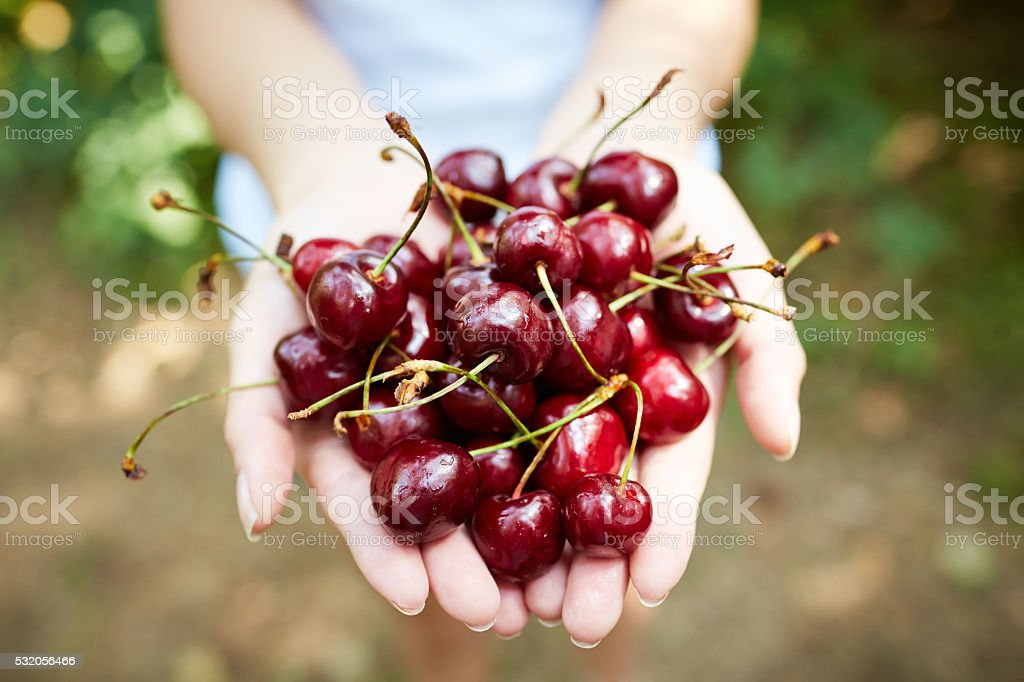 Handful of cherries stock photo