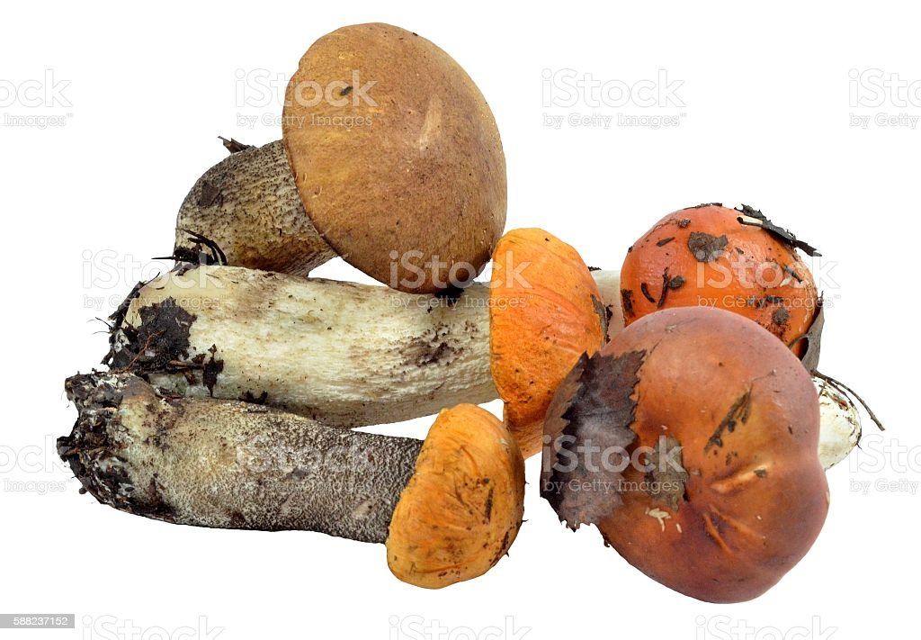 Handful of edible wild mushrooms, brought out of woods stock photo
