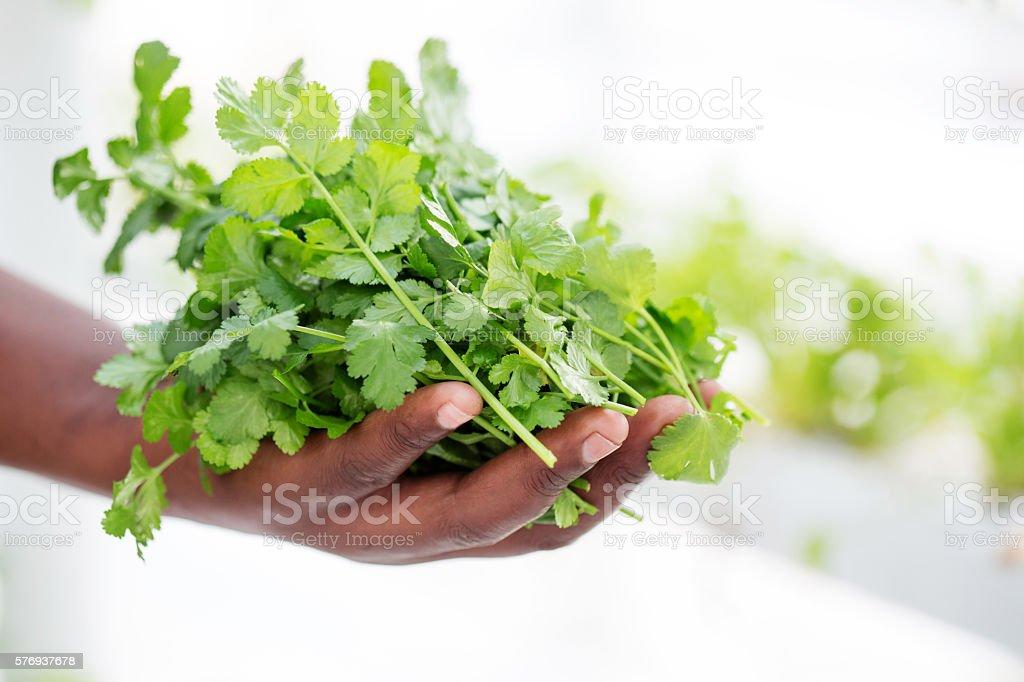 Handful of Fresh Coriander stock photo