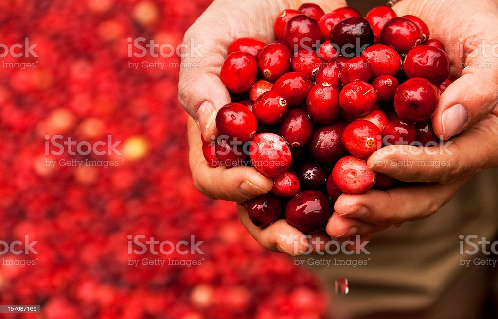 Handful of Fresh Cranberries held by a Cranberry Bog Worker stock photo