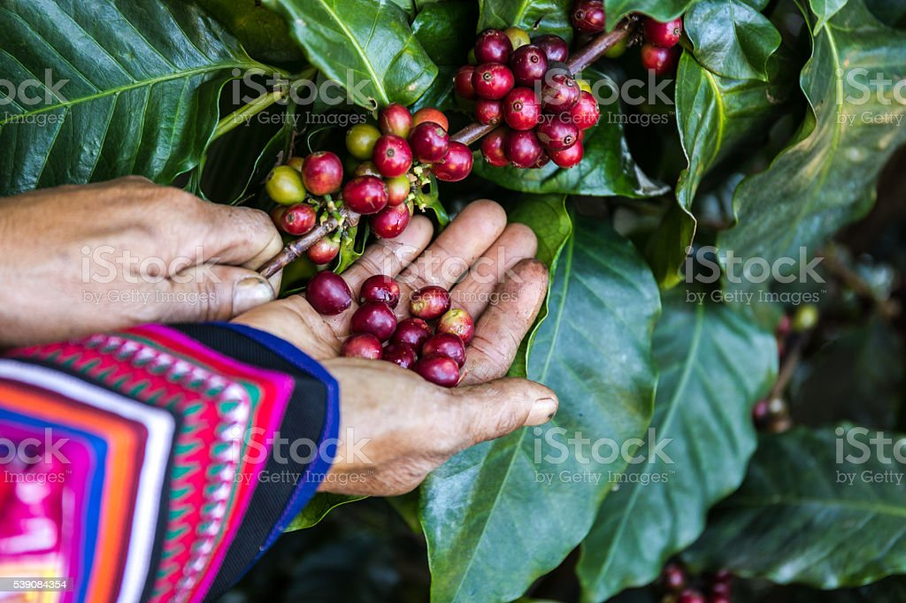 Handful of fresh organic coffee beans. stock photo