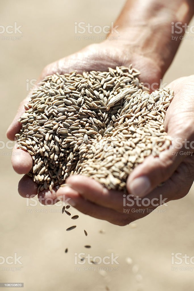 Handful of Grains royalty-free stock photo