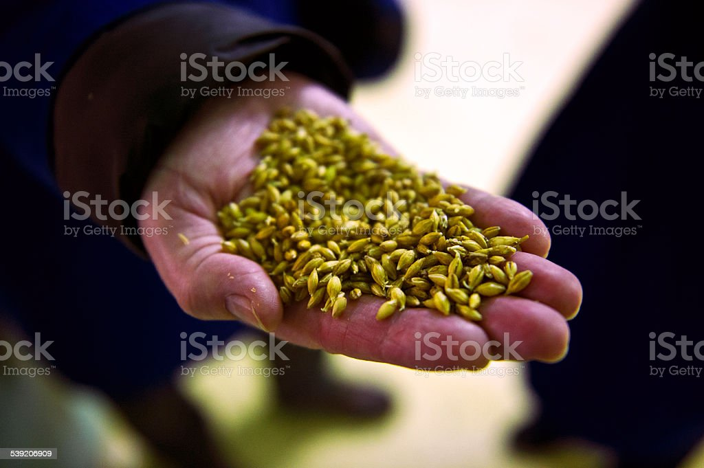Handful of Malt Barley stock photo