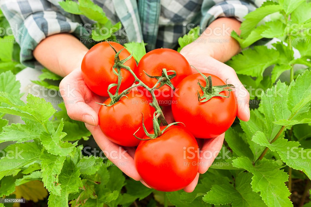 Handful of tomatoes stock photo