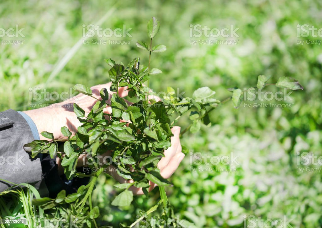 Handful of watercress stock photo