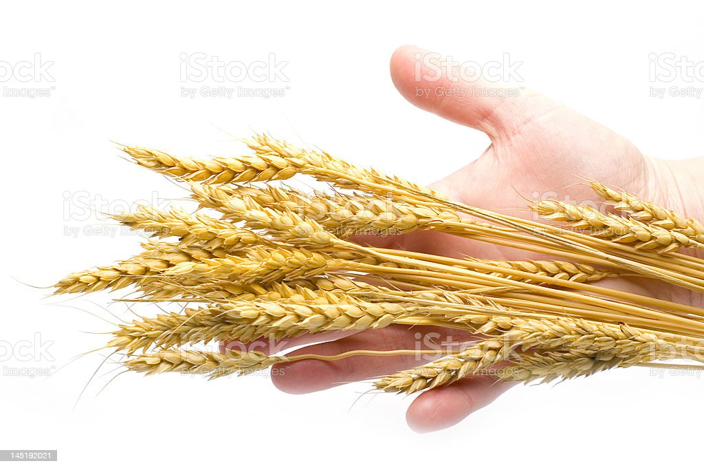 Handful of wheat ears isolated on white royalty-free stock photo