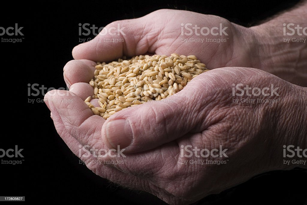 Handful of Wheat royalty-free stock photo