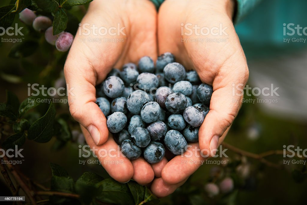 Handfull of Blueberries stock photo