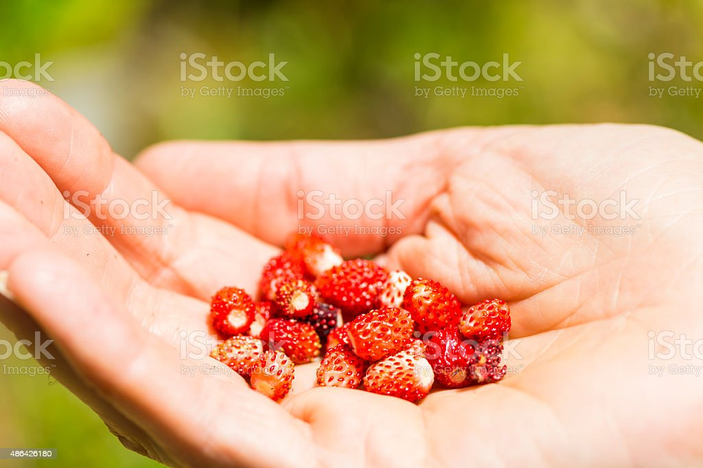Handfull of wild strawberries stock photo
